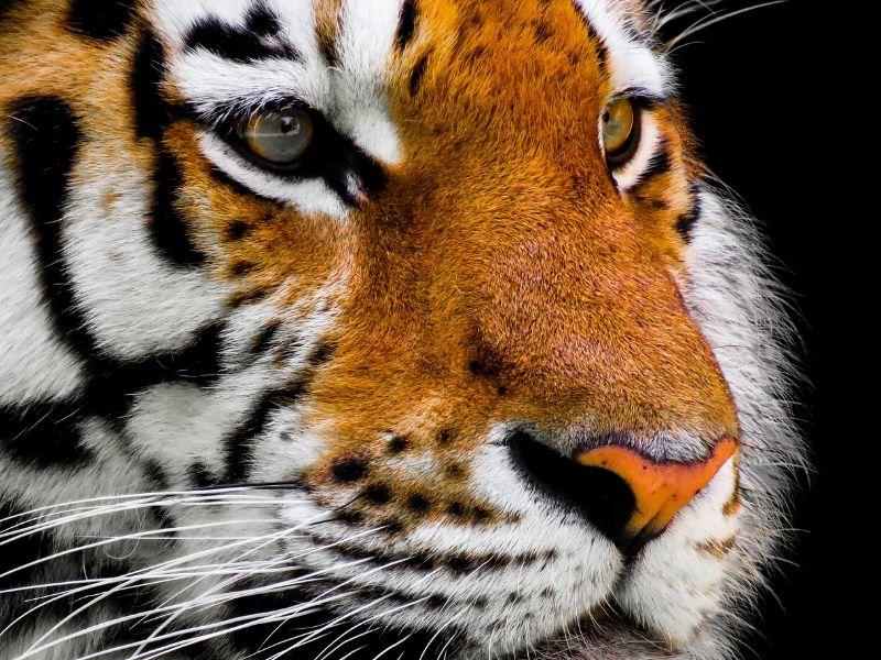 Tigre chasseur